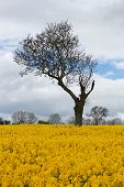 pic of unique landscape  - Unusual and unique tree amongst beautiful bright yellow Rapeseed field in full bloom clouds blue sky and other leafless trees during Spring in rural Gloucestershire England - JPG