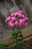 foto of rose close up  - Close up Beautiful Pink Rose Bush blooming - JPG