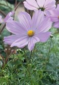 picture of cosmos flowers  - Pink Cosmos flower or kosmeya closeup with yellow petals - JPG