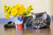 image of yellow tabby  - domestic pet tabby cat and spring yellow flowers dandelions - JPG