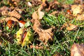 pic of chestnut horse  - Autumn scene with closeup of horse chestnut in broken shell on grass - JPG