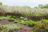 stock photo of orchard  - Blooming Apple orchard is fenced with woven fence - JPG