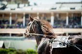 pic of running horse  - running chestnut trotting horse portrait with hippodrome bleachers behind - JPG
