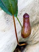 image of pitcher  - Tropical pitcher plant or monkey cup  - JPG