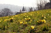image of guess  - A spring meadow covered with honey yellow flowering crocus plants - JPG