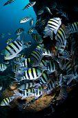 Großer Schwarm von tropischen Fischen