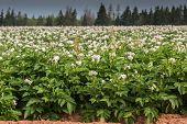 picture of potato-field  - Potato plants flower in a potato field in rural Prince Edward Island - JPG