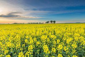foto of rape-field  - Rape field landscape - JPG
