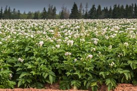 pic of potato-field  - Potato plants flower in a potato field in rural Prince Edward Island - JPG
