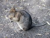 stock photo of quokka  - this quokka is eating a cookie at a wildlife park - JPG