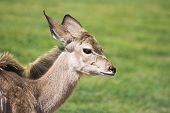 Greater Kudu Calf