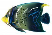 Tropical Fish Pomacanthus Semicirculatus. Vector Illustration.