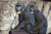 Lustige blaue Gesicht Affen