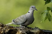 Euarsian Collored Dove