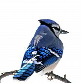 picture of blue jay  - Blue jay perched on branch against white background - JPG
