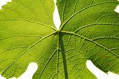 Isolated Gamay Leaf On White Background