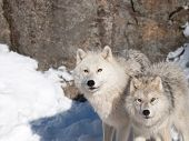 Arctic wolves in winter