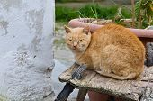 Ginger cat on a wooden chair.