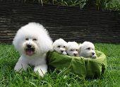 Bichon Frise Family