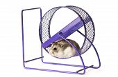foto of gerbil  - Hamster wheel to run in on white background - JPG