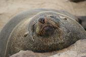 African Fur Seal: Arctocephalus Pusillus