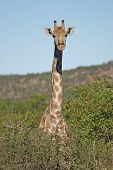 Giraffe - Giraffa Camelopardis