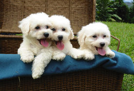 pic of bichon frise dog  - three pure breed bichon frise puppies in a basket - JPG