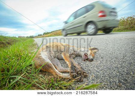 Dead Fox Beside Road
