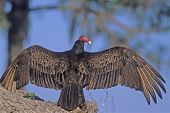 Turkey Vulture   053 J