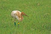 Whooping Crane Chick   415 J