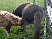 Shetland Pony Feeding Her Foal