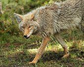A closeup a a Beautiful Coyote