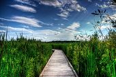 Wooden Boardwalk In Tall Reeds