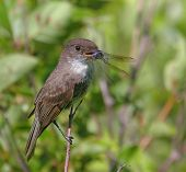 Eastern Phoebe With A Dragonfly