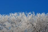 Hoar Frost And Blue Sky