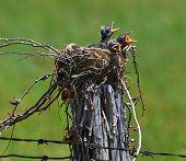 Farm Robins