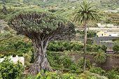 Tenerife famoso dragoeiro, Dracaena draco ou Drago em Icod de los VInos, Tenerife, Ilhas Canárias,