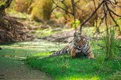 A Female Bengal Tiger After Killing A Spotted Deer Coming Under Shade Of Tree And Water Body To Cool poster