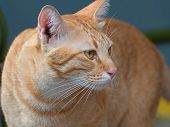 Closeup Orange Tabby Cat Isolated On Background poster