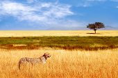 Cheetah In The African Savannah. Africa, Tanzania, Serengeti National Park. Wild Life Of Africa. poster