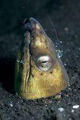 Serpiente vexillarius anguila en el agujero con comensales los langostinos en el estrecho de Lembeh