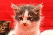 Adorable Little Kitten. Portrait Of Baby Kitten Isolated On Red Background poster