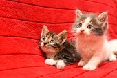 Two Beautiful Kittens. Two Baby Kittens Isolated On Red Background poster