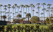 Tall Palm Trees Of La Jolla