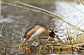 picture of great crested grebe  - great crested grebe courting on the nest - JPG