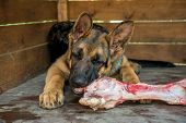 The Dog Chews A Large Raw Beef Bone. Young German Shepherd Lies In A Large Wooden Booth And Enjoys A poster