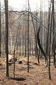 Fire Damaged Pine
