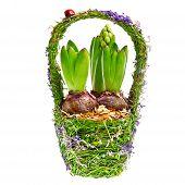 tulip bulbs in the basket
