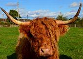 Highland Cow Kirriemuir Perthshire Scotland