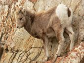 Baby Bighorn On Ledge
